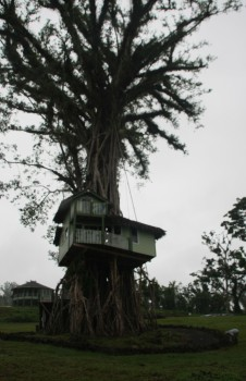 A large 300 year old Banyan tree - survivor of multiple cyclones and now sporting a treehouse in Tiavi, Samoa. NAture has inbuilt renewal systems that indicate well-designed renewal capability.